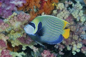 Underwater Scenic of Angelfish and Coral, Raja Ampat, Papua, Indonesia by Jaynes Gallery