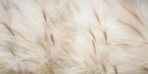 USA, Alaska, Arctic. Abstract of foxtail barley. by Jaynes Gallery