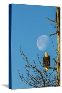 USA, Alaska, Chilkat Bald Eagle Preserve, bald eagle and moon by Jaynes Gallery