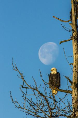 USA, Alaska, Chilkat Bald Eagle Preserve, bald eagle and moon by Jaynes Gallery