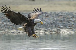 USA, Alaska, Chilkat Bald Eagle Preserve, bald eagle, landing by Jaynes Gallery