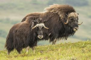 USA, Alaska, Nome. Musk ox adult bull and calf. by Jaynes Gallery