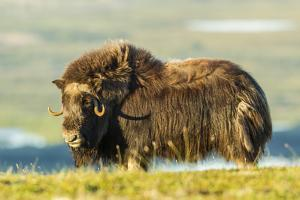 USA, Alaska, Nome. Musk ox close-up. by Jaynes Gallery