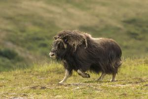 USA, Alaska, Nome. Musk ox cow running. by Jaynes Gallery