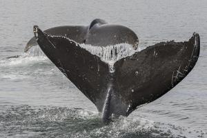 USA, Alaska, Tongass National Forest. Humpback whales diving. by Jaynes Gallery