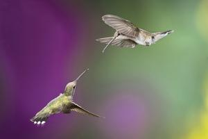 USA, Arizona, Madera Canyon. Two Female Hummingbirds in Flight by Jaynes Gallery