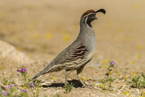 USA, Arizona, Sonoran Desert. Male Gambel's quail. by Jaynes Gallery