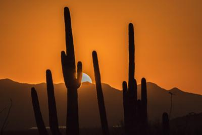 USA, Arizona, Tucson Mountain Park. Sonoran Desert at sunset. by Jaynes Gallery