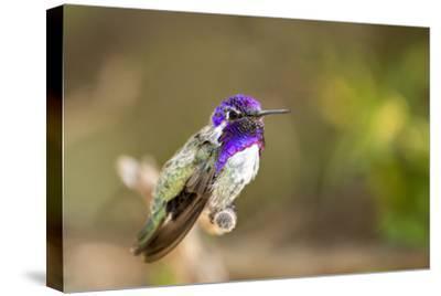 USA, Arizona, Tucson, Sonoran Desert Museum. Costa's Hummingbird