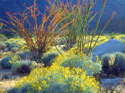 USA, California, Anza-Borrego Desert State Park. Blooming Ocotillo