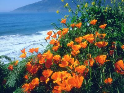 USA, California, California Poppies Along the Pacific Coast