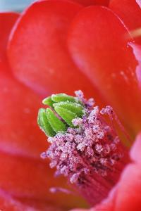 USA, California, Death Valley National Park. Detail of a Mojave mound cactus flower. by Jaynes Gallery
