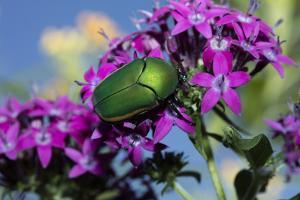 USA, California. June bug on flower. by Jaynes Gallery