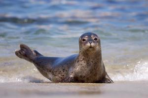 USA, California, La Jolla. a Seal on a Beach Along the Pacific Coast by Jaynes Gallery