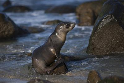 USA, California, La Jolla. Baby sea lion on beach rock. by Jaynes Gallery