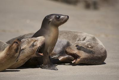 USA, California, La Jolla. Baby sea lion with s on beach. by Jaynes Gallery
