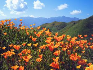 USA, California, Lake Elsinore. California Poppies Cover a Hillside by Jaynes Gallery