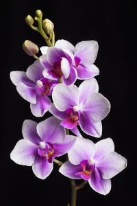 USA, California, Los Osos of orchids. by Jaynes Gallery