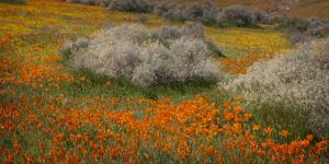 USA, California, Mojave Desert. California poppy blooms and goldfields cover field. by Jaynes Gallery