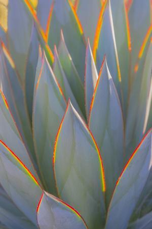 USA, California, Morro Bay. Backlit agave leaves.