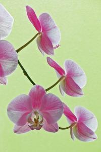 USA, California of blooming orchids. by Jaynes Gallery