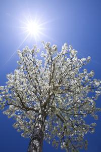 USA, California, Owens Valley. Flowering pear tree. by Jaynes Gallery