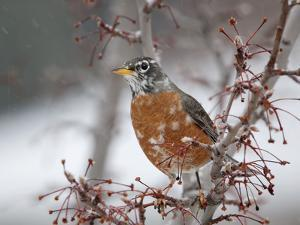 USA, California, Owens Valley. Robin on pear tree. by Jaynes Gallery
