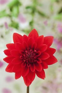 USA, California. Red dahlia close-up. by Jaynes Gallery