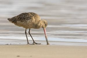 USA, California, San Luis Obispo County. Marbled godwit foraging in sand. by Jaynes Gallery