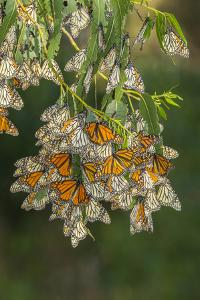 USA, California, San Luis Obispo County. Monarch butterflies in wintering cluster. by Jaynes Gallery
