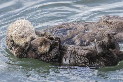 USA, California, San Luis Obispo County. Sea otter mother and pup grooming. by Jaynes Gallery