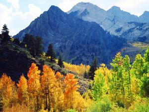 USA, California, Sierra Nevada. Aspen Trees in the Mcgee Creak Area by Jaynes Gallery