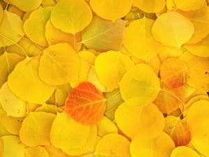 USA, California, Sierra Nevada Mountains. Fallen aspen leaves on forest floor. by Jaynes Gallery