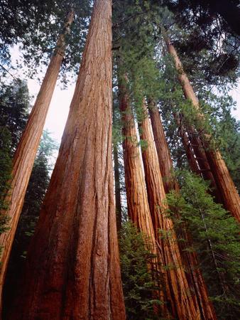 USA, California, Sierra Nevada. Old Grown Sequoia Redwood Trees