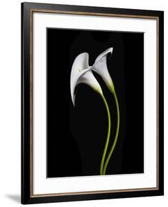 USA, California. Two calla lily flowers. by Jaynes Gallery