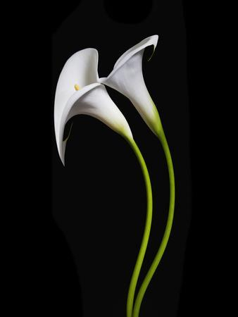 USA, California. Two calla lily flowers.