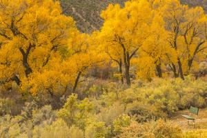USA, Colorado. Bench and cottonwoods in autumn. by Jaynes Gallery