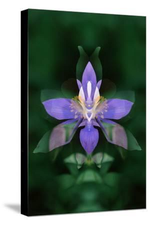 USA, Colorado, Boulder County. Colorado Columbine Flower Montage