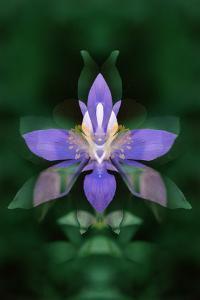 USA, Colorado, Boulder County. Colorado Columbine Flower Montage by Jaynes Gallery