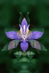 USA, Colorado, Boulder County. Colorado Columbine Flower Montage by Jaynes Gallery