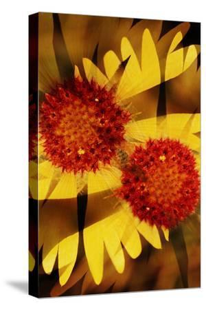 USA, Colorado, Boulder. Gaillardia Flower Montage