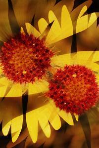 USA, Colorado, Boulder. Gaillardia Flower Montage by Jaynes Gallery