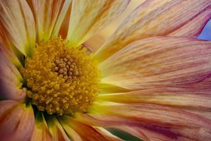 USA, Colorado, Fort Collins. Daisy flower close-up. by Jaynes Gallery