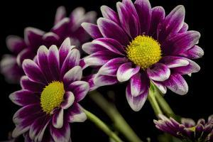 USA, Colorado, Fort Collins. Orinoco daisies close-up. by Jaynes Gallery