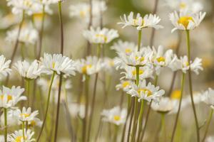 USA, Colorado, Grand County. Oxeye Daisies by Jaynes Gallery