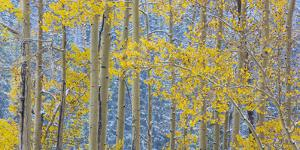 USA, Colorado, Grand Mesa. Autumn Forest Scenic by Jaynes Gallery