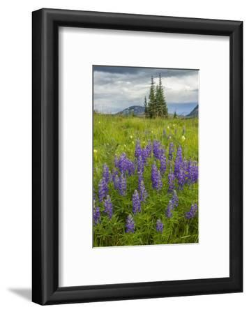 USA, Colorado, Gunnison National Forest. Lupine in Mountain Meadow