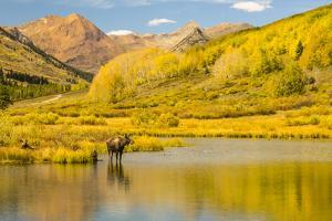 USA, Colorado, Gunnison National Forest. Moose in pond. by Jaynes Gallery