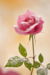 USA, Colorado, Lafayette. Snow Flakes on Pink Rose by Jaynes Gallery