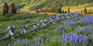 USA, Colorado. Lupines and Split Rail Fence in Meadow by Jaynes Gallery